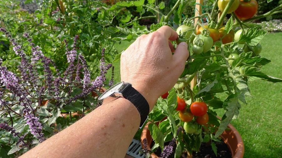 Macht auch bei der Gartenarbeit eine gute Figur: die Nomos Ahoi Datum Edition Watchtime.net von Michael Hövelmann